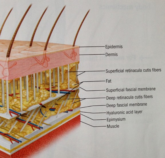 A cross-section of skin showing the different layers, including the fascia