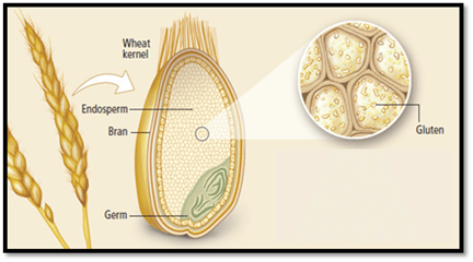 What is gluten and where is it found? What is Gluten. Gluten is a protein naturally found in certain grains such as wheat, barley, and rye.