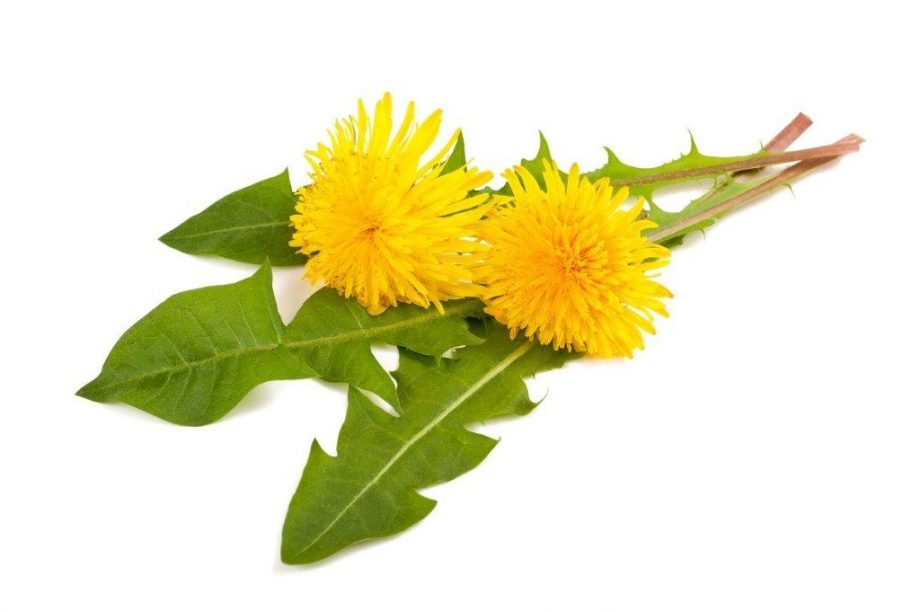 dandelion detoxs and cleanses the body