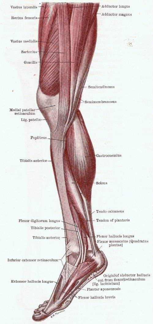 Your Leg Muscles - The Anatomy